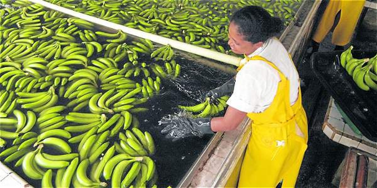 El Magdalena es uno de los departamentos 'punta de lanza' en la exportación de banano.