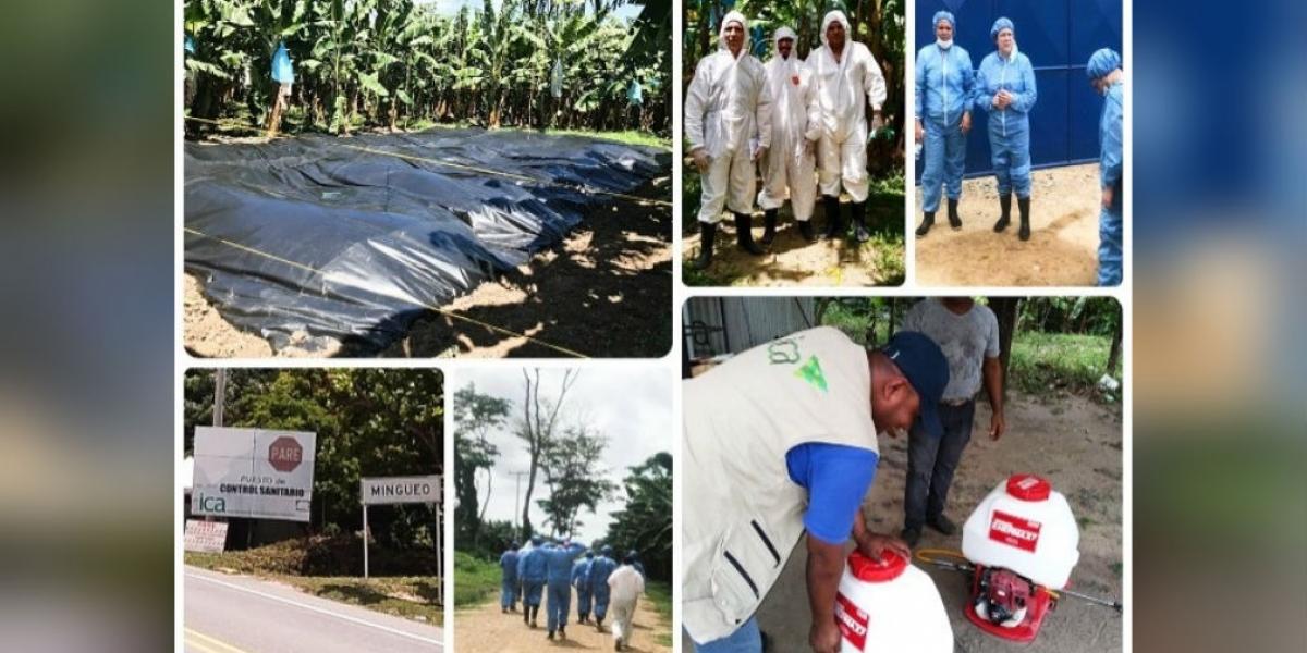 Han implementado de manera rigurosa las medidas de control y prevención ante sospecha de presencia del hongo Fusarium raza 4 en Colombia.