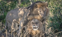 Escándalo en Kenia por pareja de 'leones gays': piden que vayan a terapia