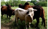 La movilización de los bovinos ubicados en las veredas mencionadas se permite, siempre y cuando los animales hayan sido vacunados 15 días antes de la fecha de movilización.
