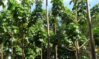 Macondo, el árbol cuyo nombre inspiró a Gabriel García Márquez para dar vida al pueblo donde transcurre el devenir de la afamada obra Cien años de Soledad.
