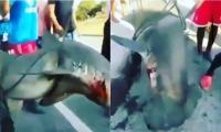 Tiburón martillo encontrado en Santa Marta