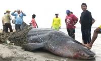 Encuentran tiburón ballena muerto en La Guajira