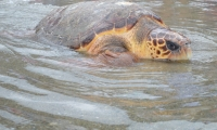 Liberarán en Pozos Colorados tortugas nacidas en cautiverio
