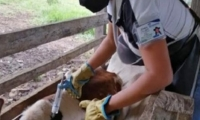 A segunda semana de ciclo contra aftosa se han vacunado 6 millones de bovinos