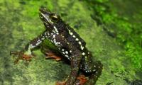Unimagdalena enfoca investigación en salvaguardar la especie de la Rana Arlequín.