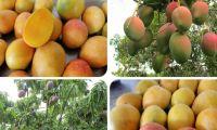En la actualidad el ICA tiene más de 100 predios autorizados para exportación de mango.