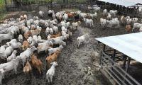 El ICA agiliza los procesos para movilizar animales.