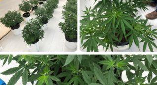 El mercado de cannabis colombiano cuenta con admisibilidad a los países de Estados Unidos, Canadá, Uruguay, Perú, Argentina y Reino Unido.