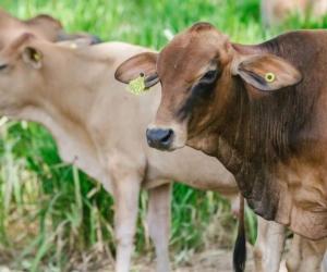 El pasado 1 de octubre se detectó un brote de fiebre aftosa en zona rural de Boyacá.
