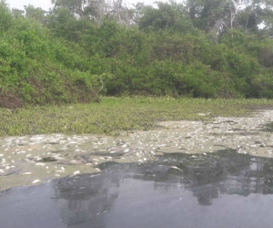 Mortandad de peces en la Ciénaga Grande de Santa Marta.