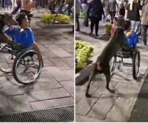 Perro causa emoción por ayudar a su amo en silla de ruedas a transportarse