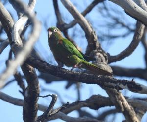 Periquito serrano, una de las especies de aves endémicas en el Magdalena.