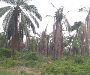 Cerca de mil hectáreas están afectadas con PC en el Magdalena.