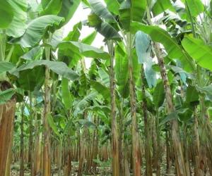 La marchitez por Fusarium R4T solo ataca a las plantaciones y no hay problemas de salud por el consumo de la fruta.