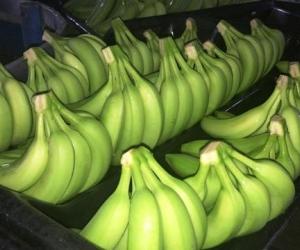El Fusarium Raza 4 Tropical afecta el tallo y la raíz de la planta, el fruto no se ve afectado y por eso se puede consumir con tranquilidad.