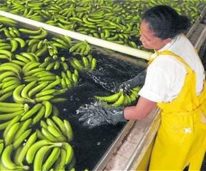 De acuerdo con la asociación, el banano exportado al Reino Unido cuenta con las certificaciones Fairtrade, Global GAP y Rainforest Alliance.