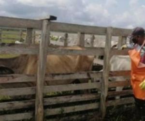Contra la rabia bovina la campaña ha inmunizado 24.362 animales, esto es, el 10,4 % del total.