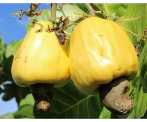 Mapiria es uno de los clones de marañón desarrollados en Agrosavia
