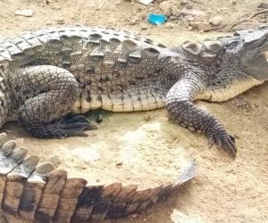 Ejemplar de caimán americano que regresará al Magdalena.