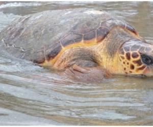 La liberación de fauna marina está liderada por la Corporación con el apoyo del Acuario de El Rodadero.