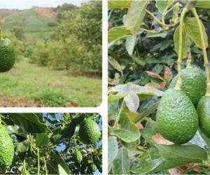 Con el envío de 1.600 kilos de aguacate Hass a Corea del Sur, Colombia exporta calidad, sabor y competitividad.