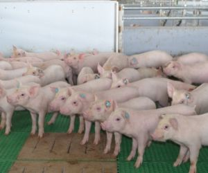 Porcinos libres de coronavirus respiratorio y del virus de gastroenteritis.