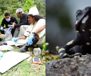 La Alma Mater integra la primera red para proteger las ranas Arlequín.