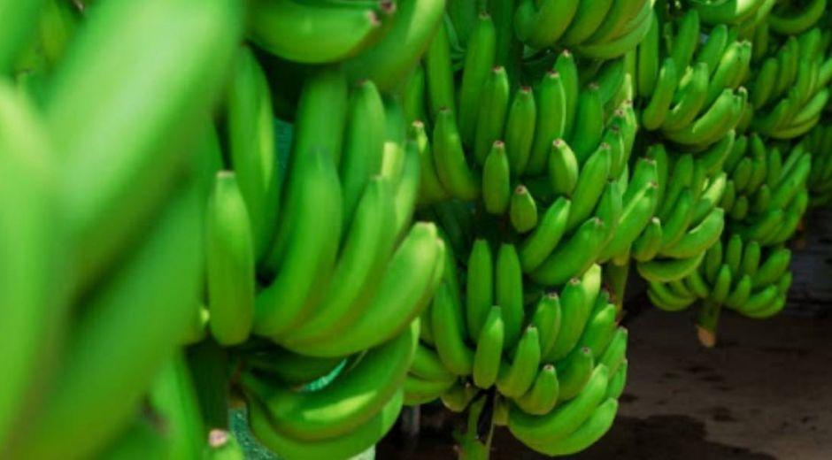 Cultivo de banano.