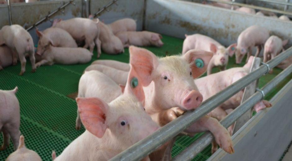La PPA es una enfermedad viral de los porcinos, que afecta todos los grupos de edad y puede originar tasas de mortalidad hasta del 100%.