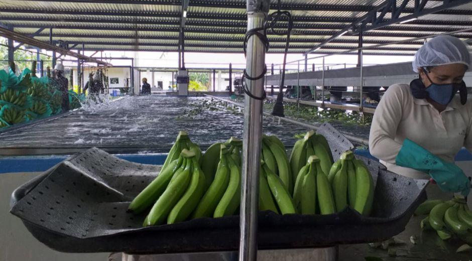 El banano colombiano se consolida en la región de Menasa.